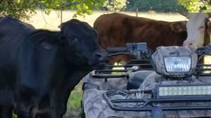 cows_4wheeler